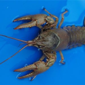 Live Crayfish for sale